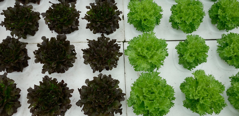 dry hydroponics lettuce production. Holland