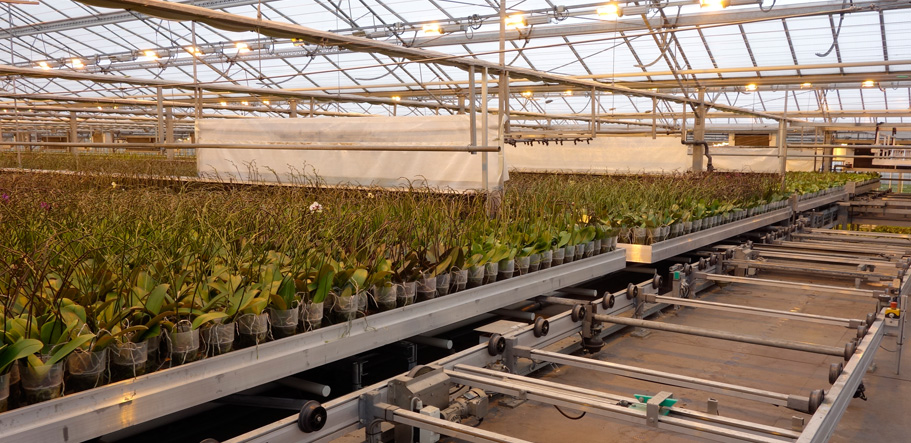 Moth Orchids automated production