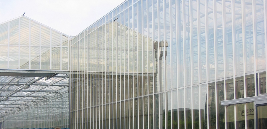 5.5m high glasshouse tomatoes in Belgium