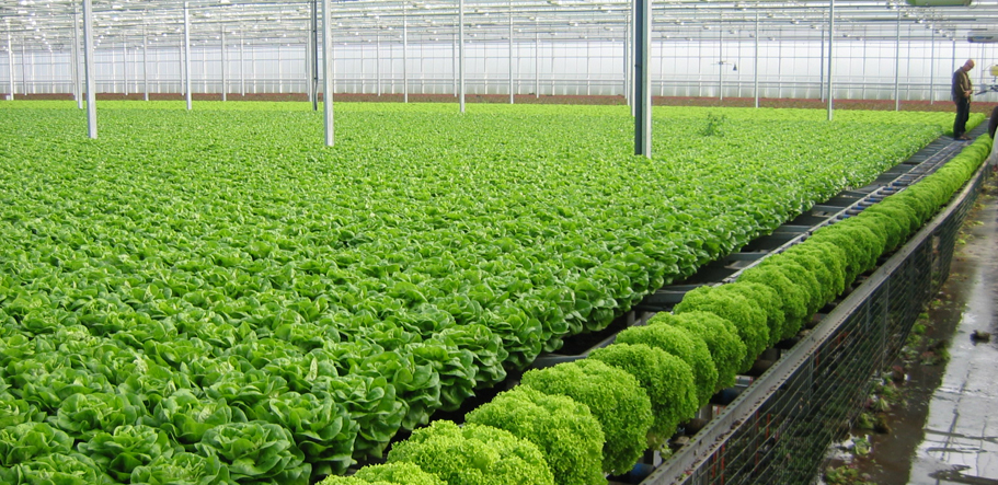 Fully grown NFT lettuce