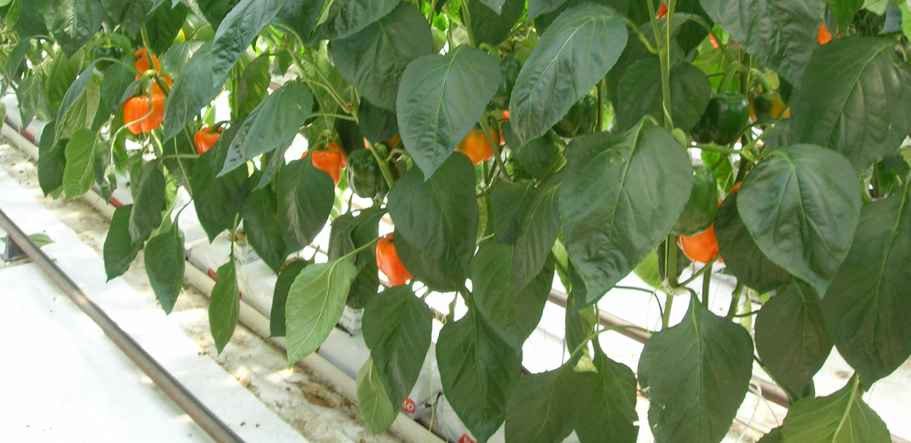 Growool capsicum