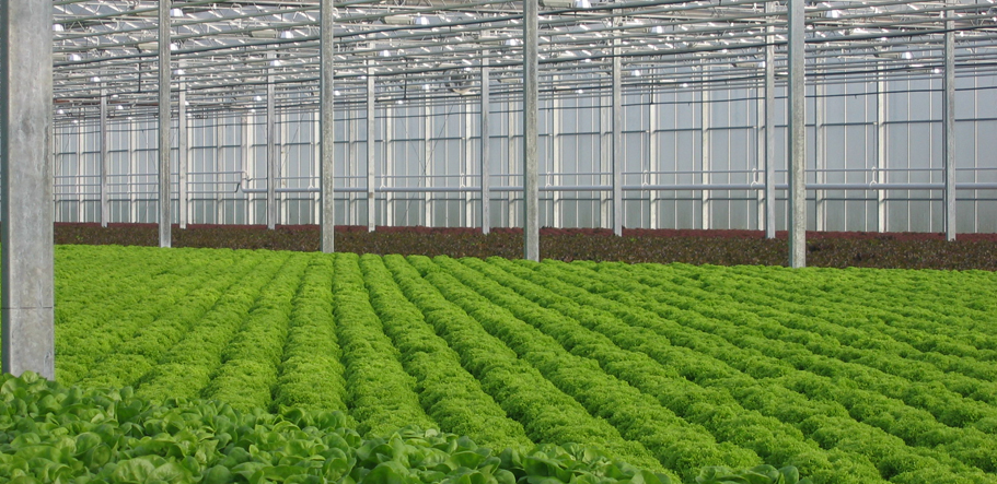 Lettuce NFT closed environment in Belgium