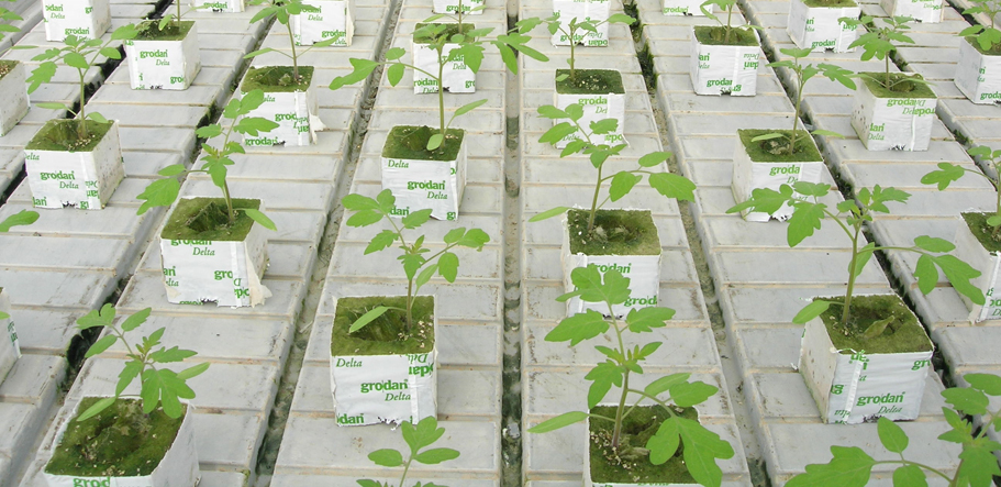 Tomato seedlings for grafting flood and drain